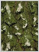 Birnbaum baumrinde borke kulturbirnbaum pyrus communis alter