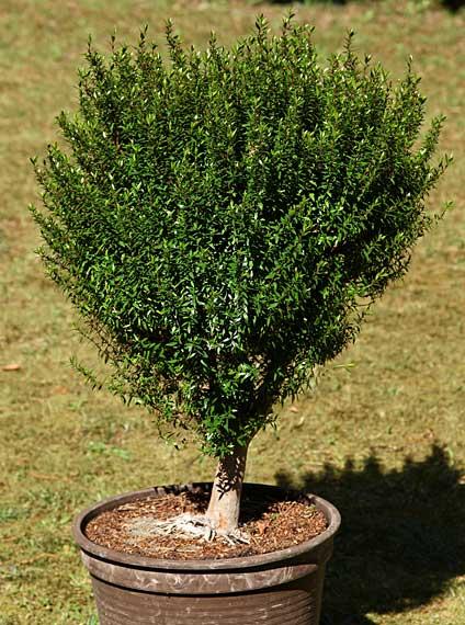 myrten verkauf sehr alte myrtenb umchen myrten bonsai myrtus communis brautmyrte im angebot. Black Bedroom Furniture Sets. Home Design Ideas